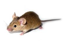 마우스는 사람이 아니지만 마우스에서의 연구는 헌팅턴의 역할에 대한 중요한 정보를 제공 할 수 있습니다.